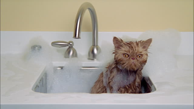 Persian cat taking bath in sink wet and covered in soap suds