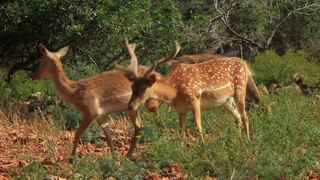 Persian Fallow Deer (Dama dama mesopotamica) male and females eating in green forest