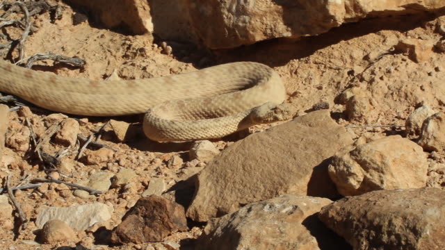 Persian horned viper (Pseudocerastes persicus)- smelling and crawling between rocks