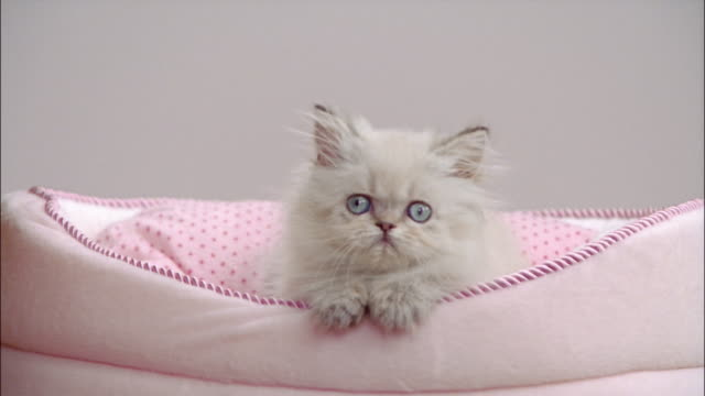 Persian kitten in cat bed with paws sticking out