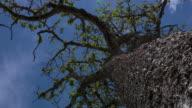 perspective view of a typical 'Brazilian Cerrado' tree