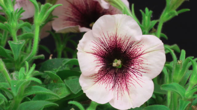 Petunia blooming HD