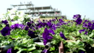 Petunia Garden with dolly panning