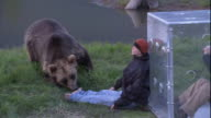 A photographer in a protective cube watches a grizzly bear investigate a dummy.