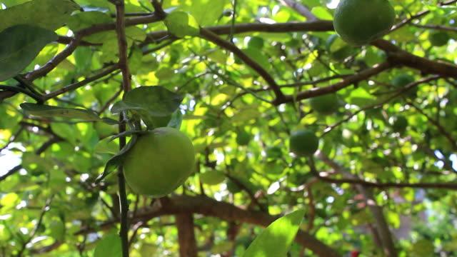 picking a green lemon