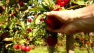 Picking an apple, panning