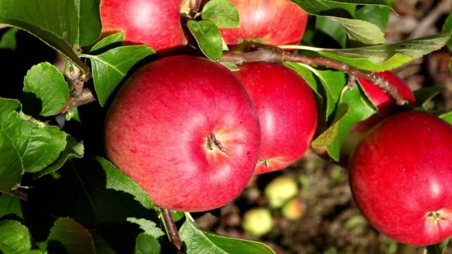 Picking apple