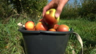 Picking Apples. Red Apples in a Bucket