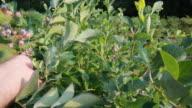Picking blueberries (HD)