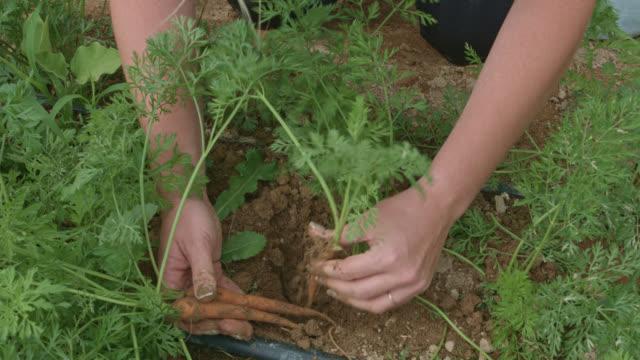 Pflücken Karotten