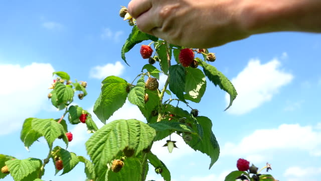 Picking fresh raspberries - 2 shots