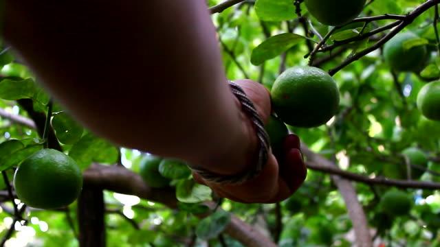 picking lime