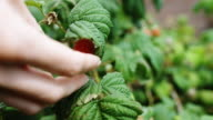 Picking Raspberry from under Leaf