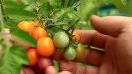 Picking Sungold Cherry Tomato