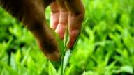 Picking tea leaf