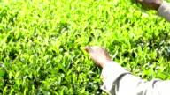 Picking tea leaves on plantation