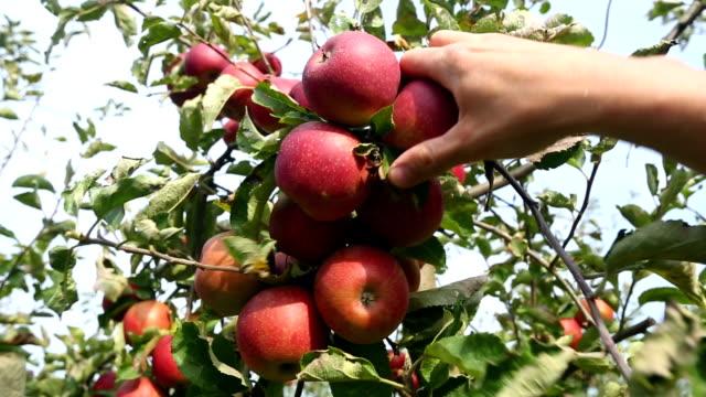Picking three apples
