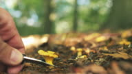 Picking Wild Chanterelle Mushrooms in Sunny Forest