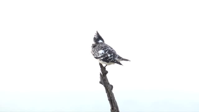 WS Pied Kingfisher against white sky / Pilanesberg National Park/ North West Province/ South Africa