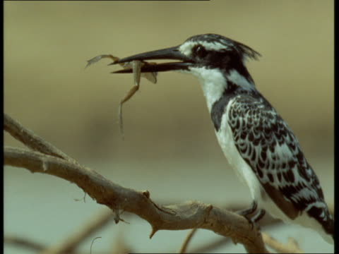 A pied kingfisher eats a frog on a branch and then flies away.