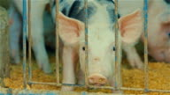 A pig looks out of his cage of misery at a farm