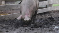 Pig plays in the mud