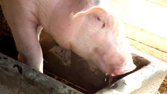Pig (HD)