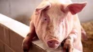 Pig...