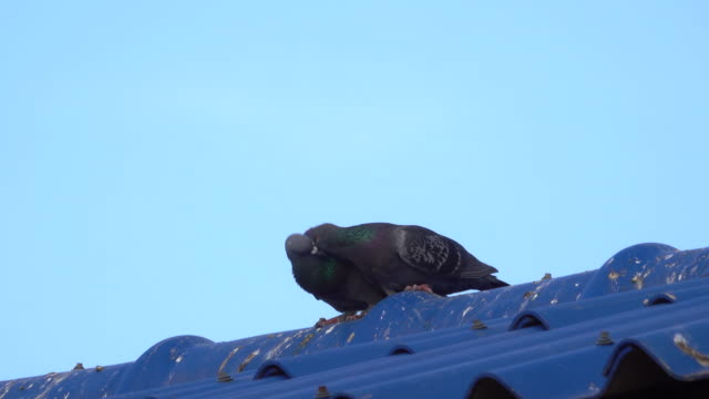 Pigeon breeding on the roof