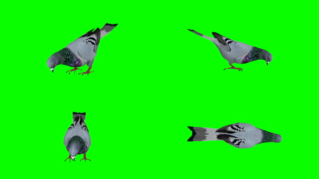 Pigeon Eating Green Screen (Loopable)
