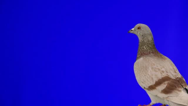 Pigeon flying into frame chroma key