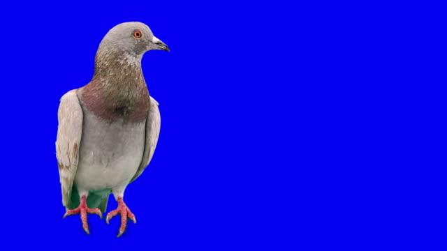 Pigeon looks aside on chroma key