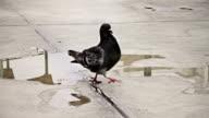 Pigeon on the ground