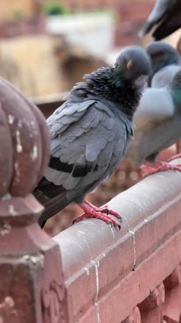 Pigeon preening