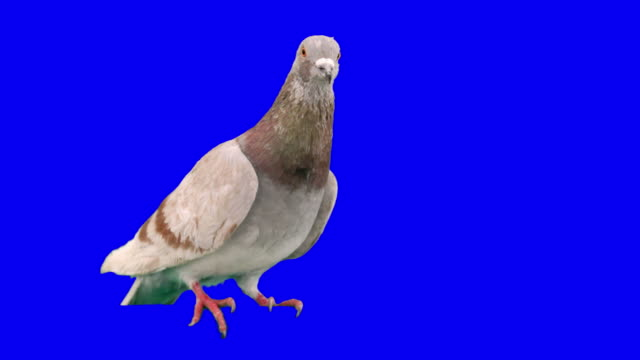 Pigeon shifts from one foot to the other