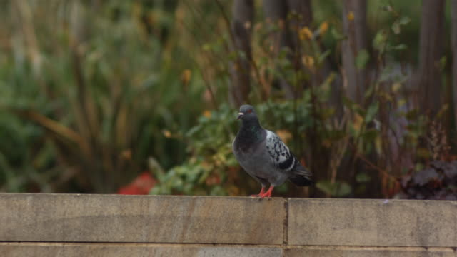 MS SLO MO Pigeon taking off from ledge / United Kingdom