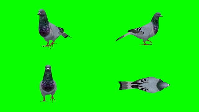 Pigeon Walking Green Screen (Loopable)