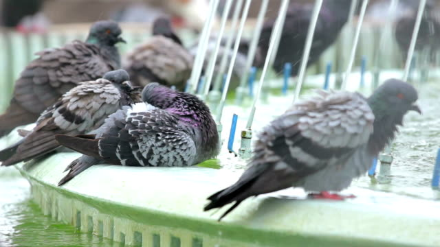 Pigeons bathing in the park