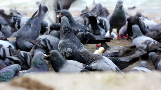 Pigeons bird swarming the loaf of food.