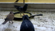 Pigeons eating meal