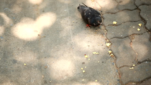 Pigeons feed on the ground.