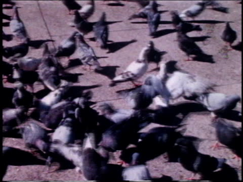 1962 HA pigeons milling and fluttering on the sidewalk / New York, New York, United States