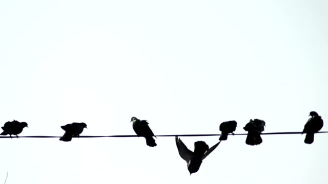 Pigeons on telephone wires - Stock Video