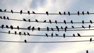 Pigeons on telephone wires