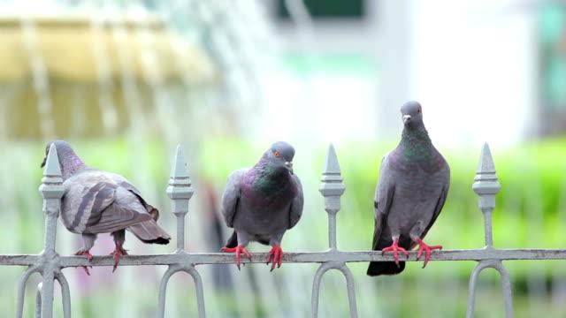 Pigeons on the steel rail