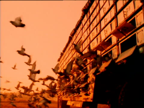Pigeons released from cages on truck.
