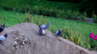 Pigeons sitting on granite boulder