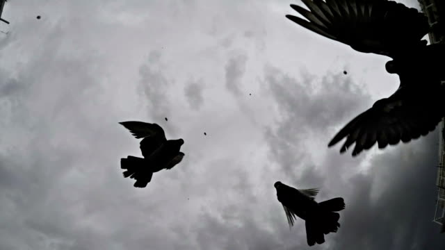 Pigeons. Slow motion. Black and white