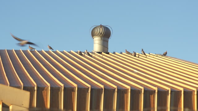 Pigeons standing on a tin roof/ Cape Town/ South Africa