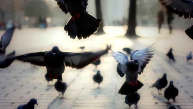 HD :Pigeons